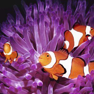 Clown Fish - Designer Splashback