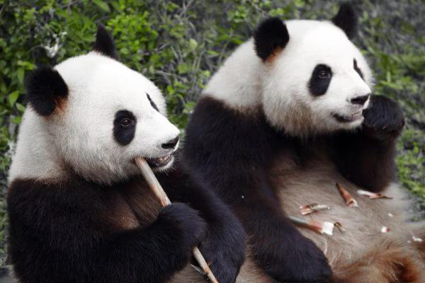 Eating Pandas - Designer Splashback