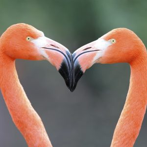 Flamingo Heart - Designer Splashback