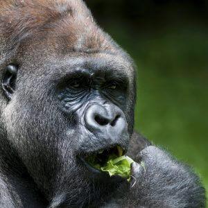 Gorilla - Designer Splashback