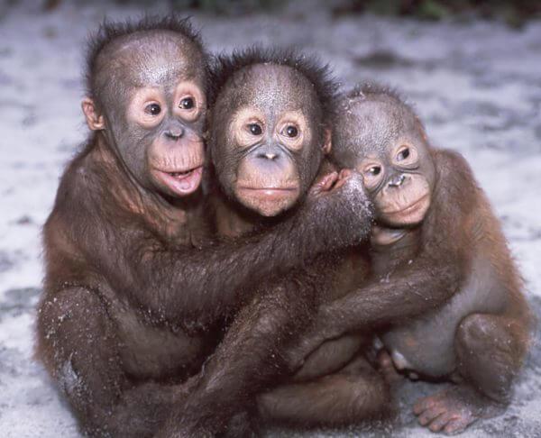 Hugging Orangutan Babies - Designer Splashback