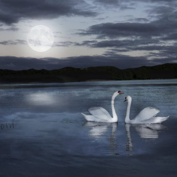 Pair of Swans - Designer Splashback