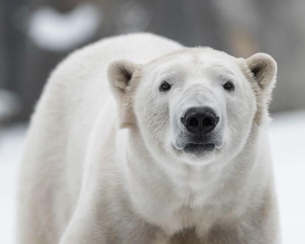 Polar Bear - Designer Splashback