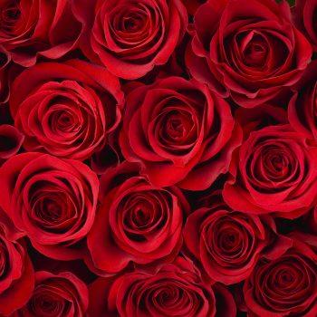 Rose Background - Designer Splashback