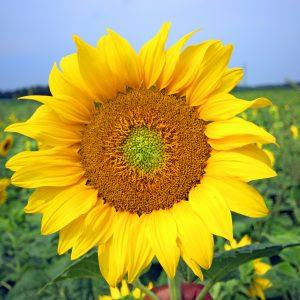 Sunflower - Design Splashback
