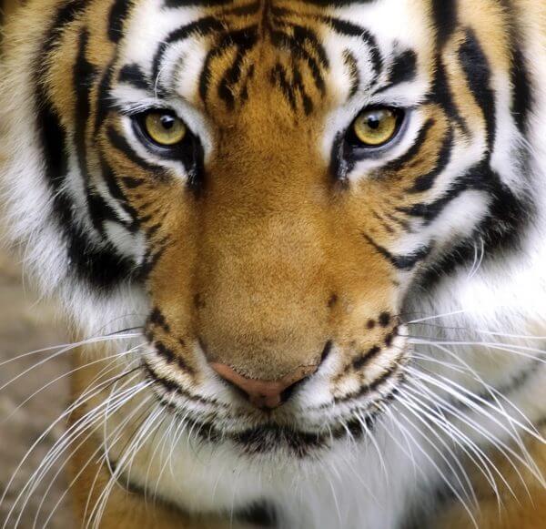 Tiger - Designer Splashback