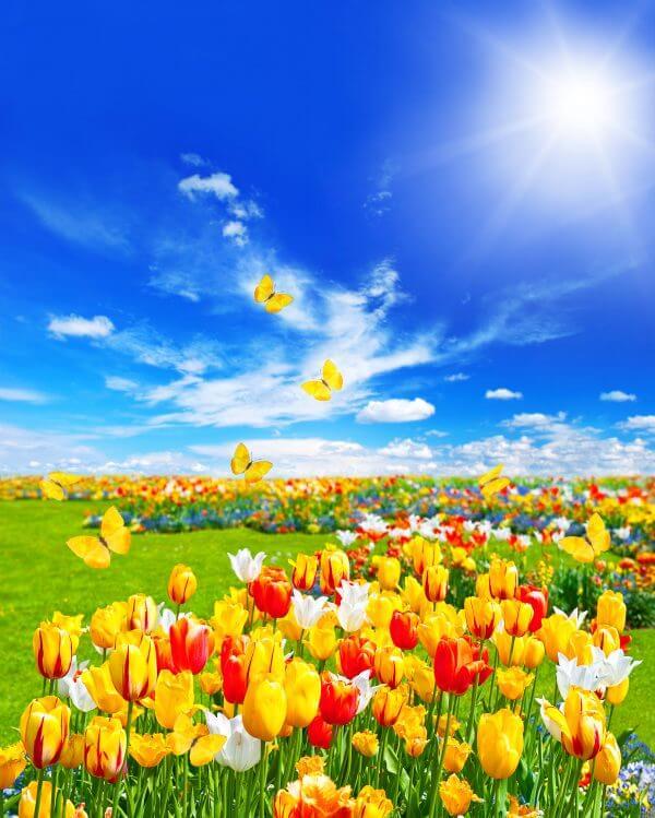 Tulips and Butterflies – Designer Splashback