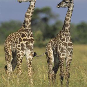 Two Masai Giraffes - Designer Splashback