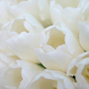 White Tulips – Designer Splashback