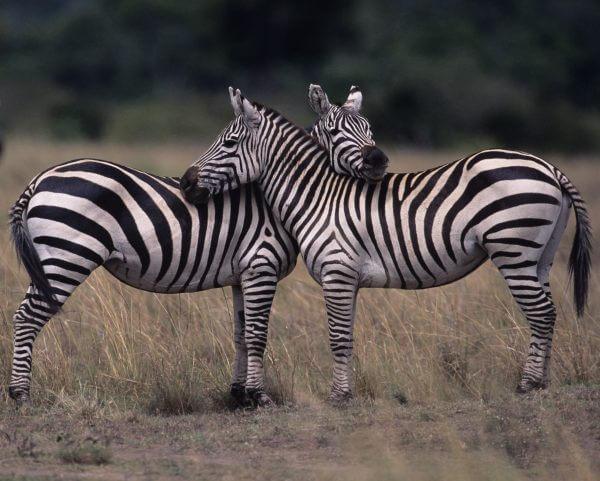 Zebras - Designer Splashback
