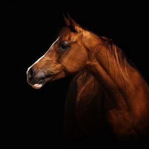 Brown Horse - Designer Splashbacks