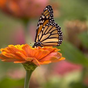 Butterfly - Designer Splashbacks