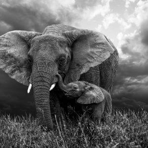 Elephant With Calf - Designer Splashbacks