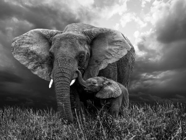 Elephants Black and White - Designer Splashbacks