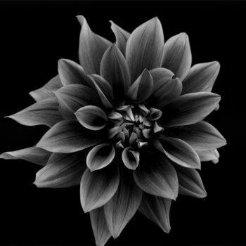 Flower Head Black and White - Designer Splashbacks