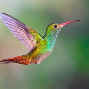 Hummingbird - Designer Splashbacks