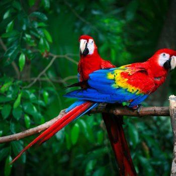 Parrots - Designer Splashbacks