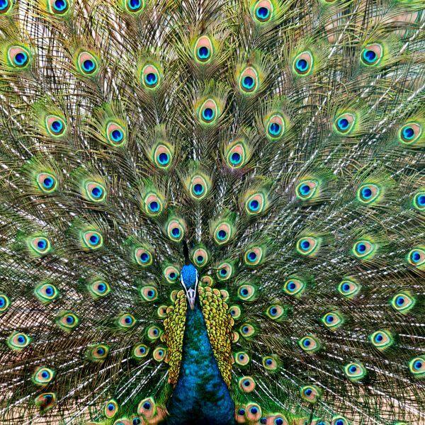 Peacock - Designer Splashbacks