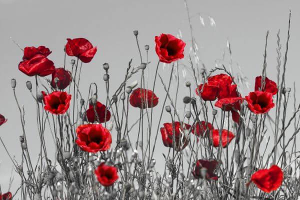 Red Poppies on Grey Background 2 - Designer Splashbacks
