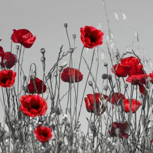 Red Poppies on Grey Background - Designer Splashbacks