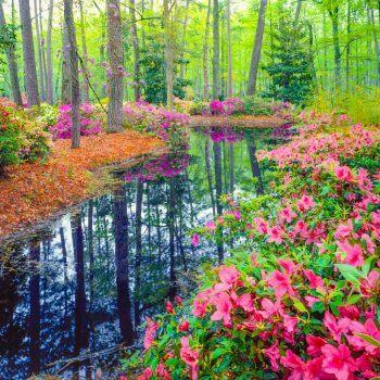 Spring Azalea - Designer Splashbacks