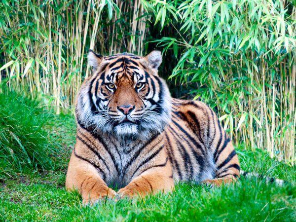 Tiger - Designer Splashbacks